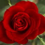 Small_Red_Rose